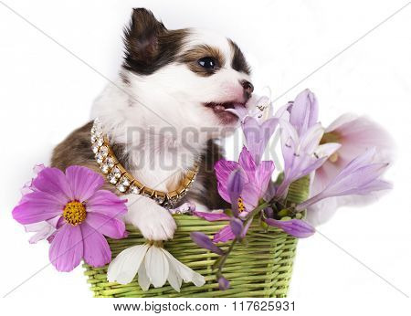chihuahua puppy and flowers
