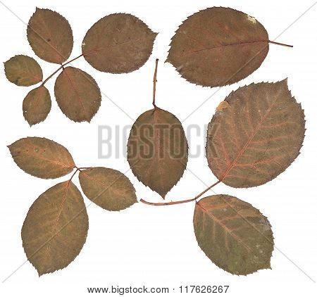 Rose Leaves Isolated