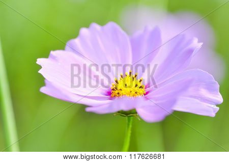 Cosmos Flower Or Mexican Aster Flower
