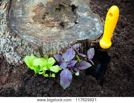 Salad And Basil Seedlings Growing Beside Stump