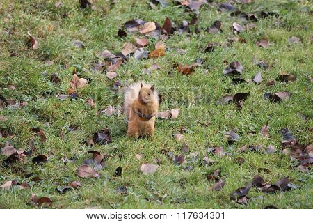 Squirrel, Blonde (Eastern Gray)