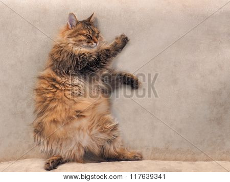 The Big Shaggy Cat Is Very Funny Standing