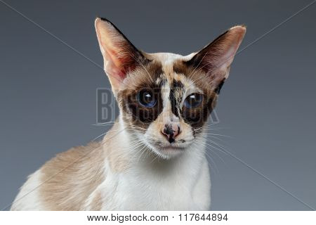 Closeup Of Blue Eyed Oriental Shorthair Looking At Camera On White