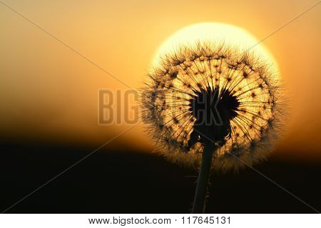 Detail of dandylion weeds seeds in sunlight