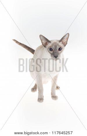 Oriental Blue-point Cat Posing  On White