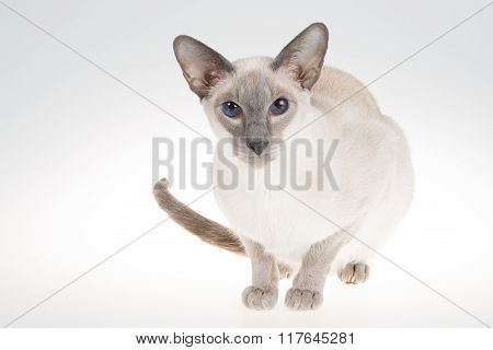 Oriental Blue-point Siamese Cat. Close-up Portrait On A White