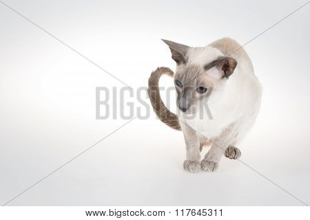 Oriental Blue-point Siamese Cat Sitting On A White