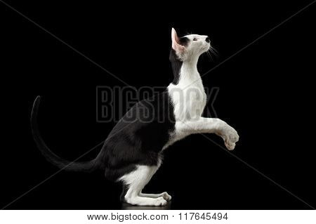 Standing On Legs Black And White Oriental Cat Isolated On Black