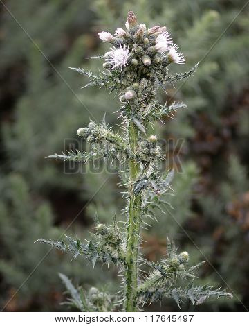 Marsh thistle (Cirsium palustre) white flowered plant