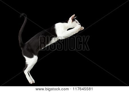 Jumping Black And White Oriental Cat Isolated On Black