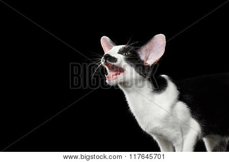 Closeup Funny Meowing Oriental Shorthair Looking At Camera Isolated, Black