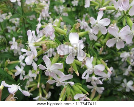 Common soapwort, Saponaria officinalis