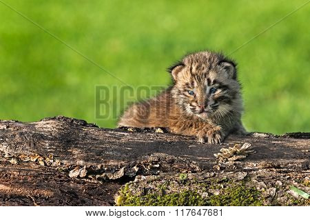 Baby Bobcat (lynx Rufus) Stares Out From Log