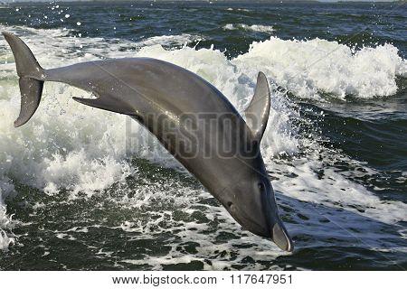 Acrobatic Dolphin