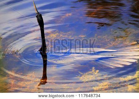 Submerged Anhinga