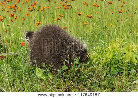 Porcupine (erethizon Dorsatum) Walks Into Weeds