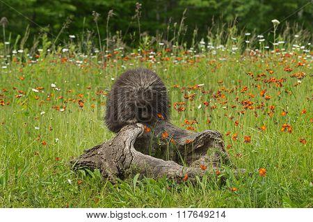Porcupine (erethizon Dorsatum) Looks Out From Atop Log