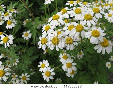 Flowering Feverfew, Tanacetum parthenium