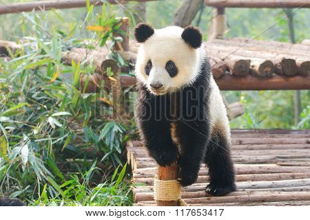 Giant Panda Curious Standing Pose, China
