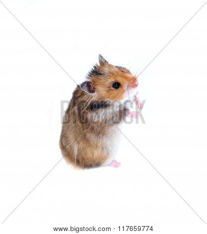 Brown Syrian Hamster Stands On His Hind Paws Isolated