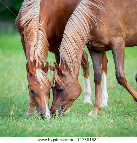Two Arabian horses eating green grass in field, square photo.
