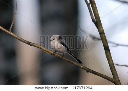 Side View Of Perching Long-tailed Tit In The Forest
