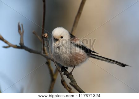 Side View Of Perching Long-tailed Tit