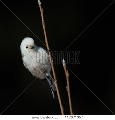 Bright Perching Long-tailed Tit Against Black Background