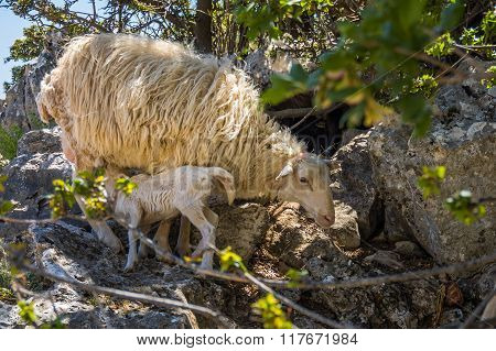 Sheep Mother And Lambs