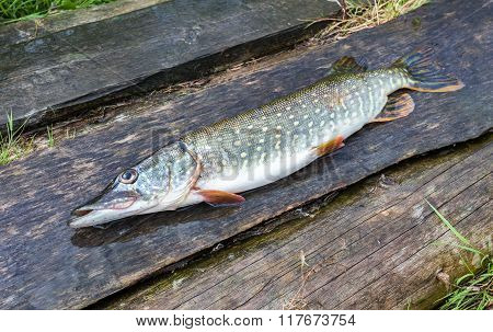 Fisherman Trophy - Caught Pike Lies On The Old Wooden Boards