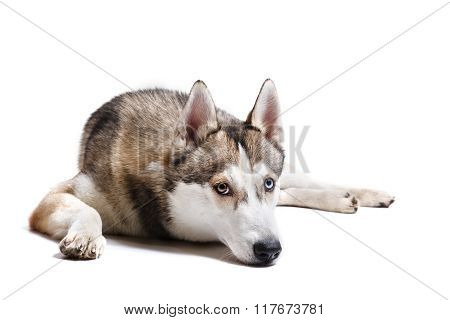 Dog Breed Siberian Husky On A White Background