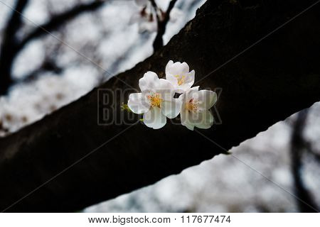 Cherry blossom close-up. Cherry blossom blooming directly on a tree limb.