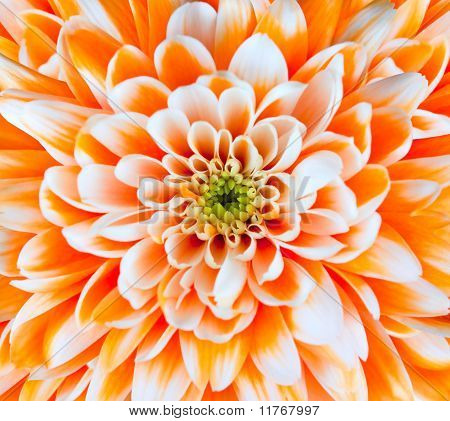 Orange And White Chrysanthemum Flower Head Closeup