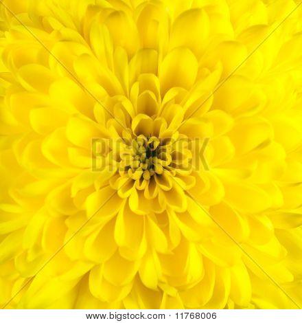 Yellow Chrysanthemum Flower Head Closeup