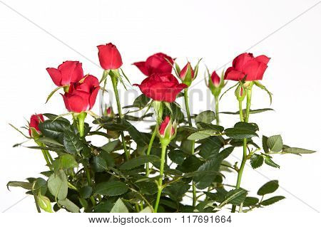 Red Roses And White Background