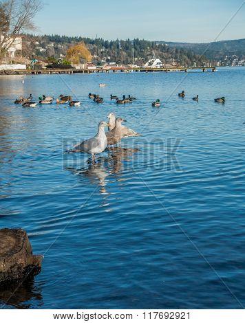 Three Roosting Seagulls