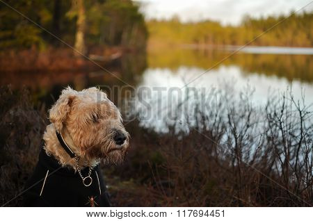Irish Wheaten Softcoated Terrier