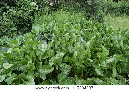 Growing Horseradish In The Backyard Garden.