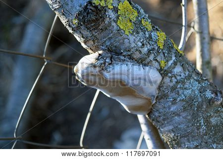 Tinder fungus on a branch. Infection tree fungus.