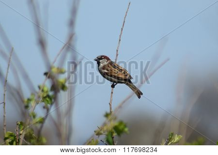 Sparrow On A Branch Of A Currant