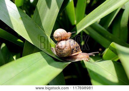 Family land snails