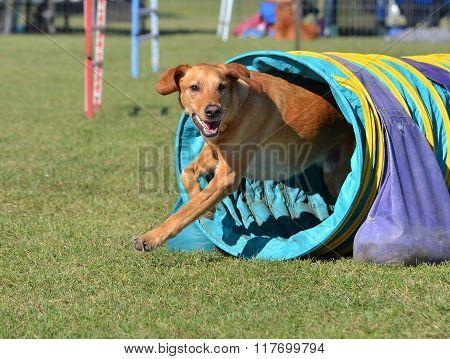 Yellow Labrador Retriever At A Dog Agility Trial