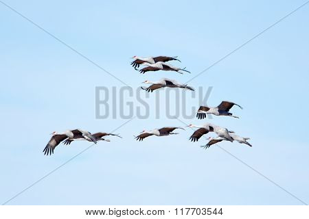Sandhill Cranes in Flight with Blue Sky Background