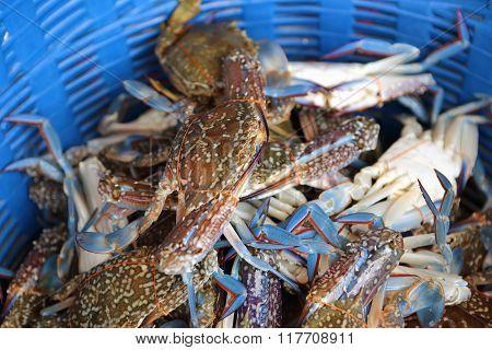 Horse Crab