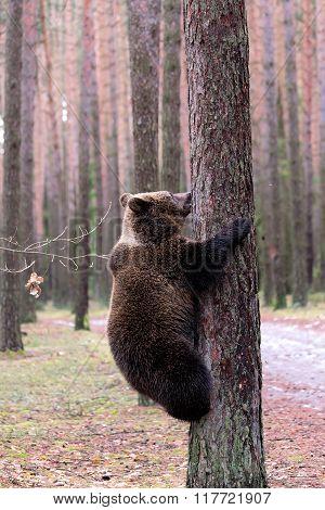 Brown Bear (ursus Arctos) In Winter Forest