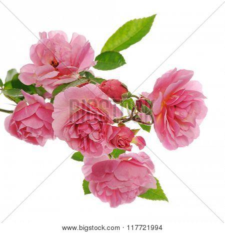 branch of pink climbing rose