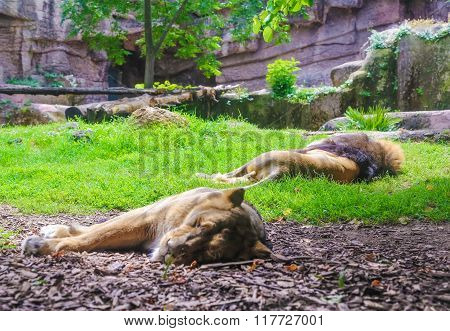 Lions Family Sleeps In A Cage