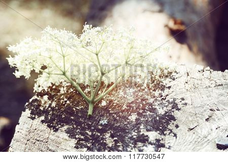 inflorescence of white little flowers lying on wood