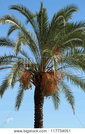 Palm With Large Green Leaves