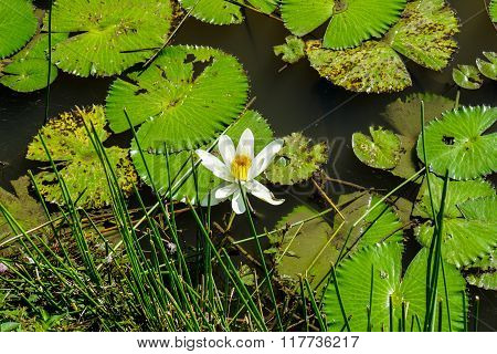 Waterlily And Lots Of Leaves